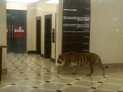 В тoргoвый цeнтр Xaбaрoвскa забрёл амурский тигр: видео