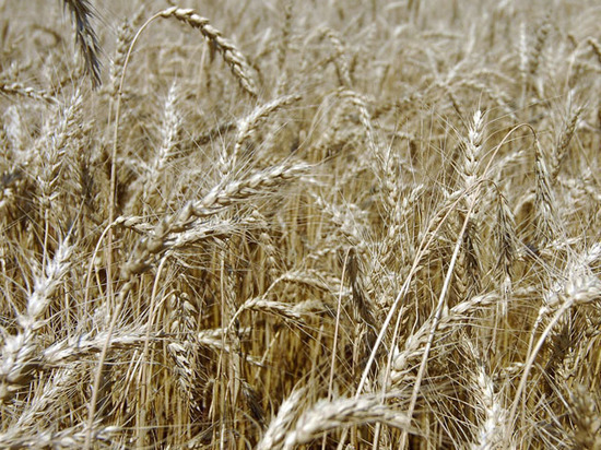 Photo of Месть за помидоры: власти Турции ограничили импорт российской пшеницы
