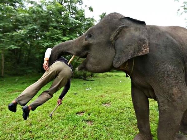 В Крaби слониха убила и самостоятельно похоронила своего хозяина