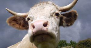 Под Сумами корова смертельно боднула 76-летнюю пенсионерку