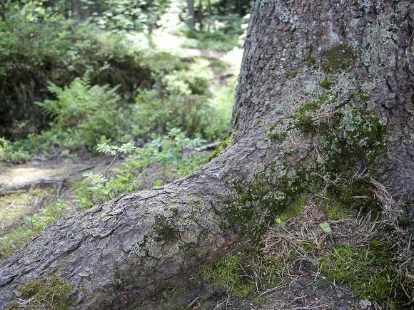 В подмосковном лесу нашли труп мужчины, прикованный цепями к дереву0