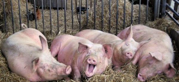 Photo of Свиная чума может обернуться трагедией для сердечников